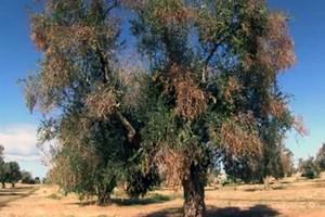 Consorzio Peranzana Alta Daunia: xylella fastidiosa complesso del disseccamento rapido dell'olivo
