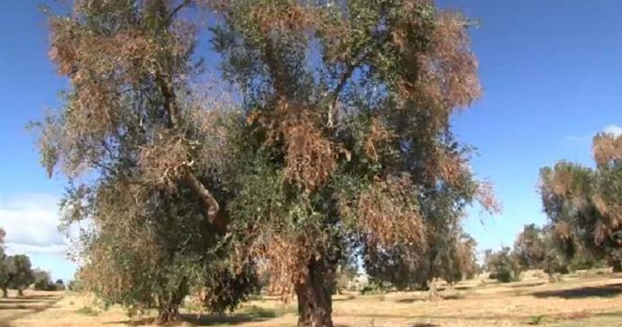 XYLELLA: DOPO LA VALUTAZIONE EFSA, L'ABBATE (M5S) INVITA GLI AGRICOLTORI A NON FARSI INGANNARE DAI SANTONI
